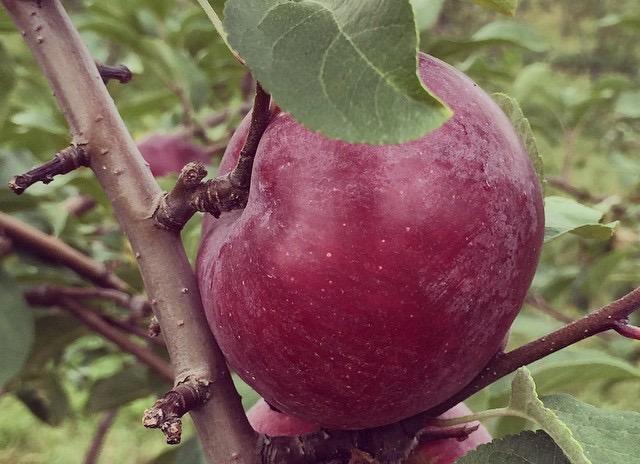 SG apple